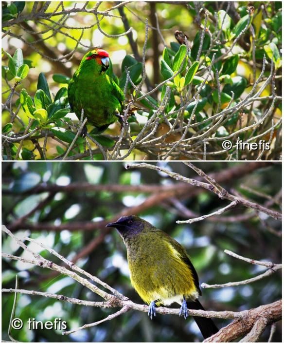 Fågeln på den övre bilden är en Red-Crowned Parakeet, Maorierna kallar den Kakariki. Fågeln på den undre bilden är en Bellbird, som Maorierna kallar för Korimako.